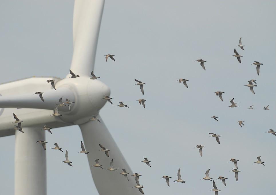 遷徙路線鄰近風機的鳥群。圖片僅為示意照,拍攝當時風機並未運轉。圖片來源:台灣水鳥研究群 彰化海岸保育行動聯盟(CC BY-NC-SA 2.0)。