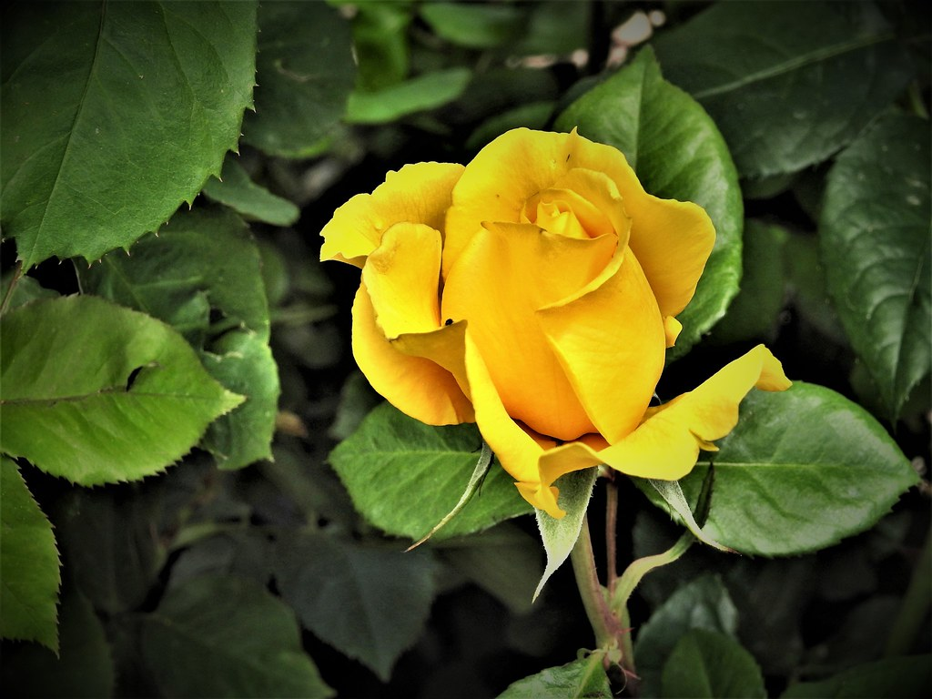 ... Lovely Yellow Rose ~ Good Earth Garden Center | By Jane Lazarz