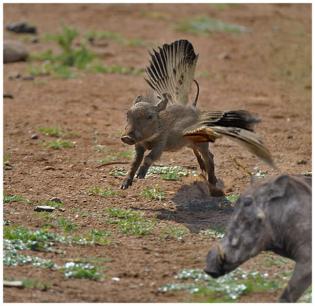 a proud mother looks on as an immature baby warthog takes flickr