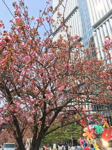 東京ガーデンテラス紀尾井町の八重桜 2018.4.3