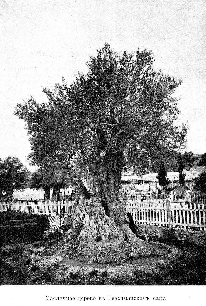 Изображение 99: Масличное дерево в Гефсиманском саду.