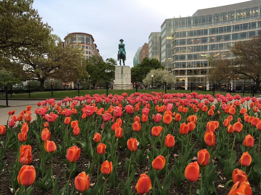 Orange tulips in Washington Circle NW, Washington, D.C. | Flickr