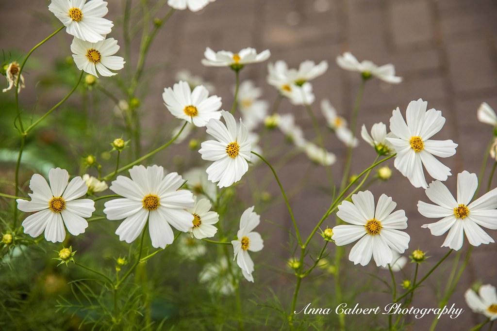 White cosmos flowers white cosmos flowers anna calvert flickr white cosmos flowers by anna calvert photography mightylinksfo