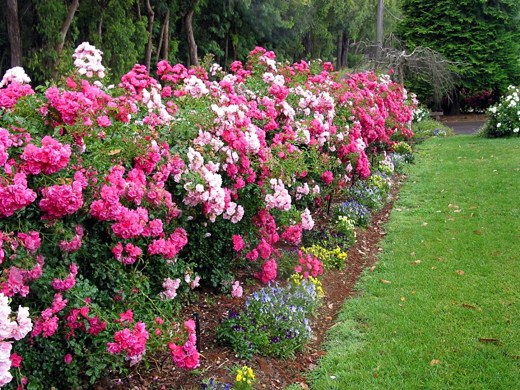 Flower Carpet Rose Hedgerow Flower Carpet Pink And Flower Flickr