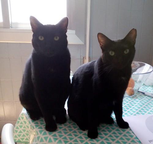 Morgana, gatita negra monísima, juguetona y tímida esterilizada, nacida en Julio´16, en adopción. Valencia. ADOPTADA. 42411086511_70a18287b0