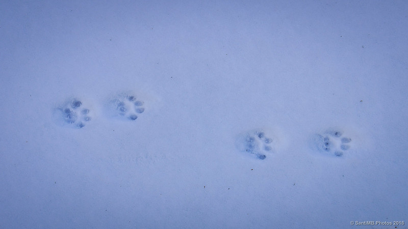 Huellas de gato montés
