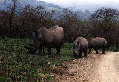 White Rhino coming down the road | by silyld