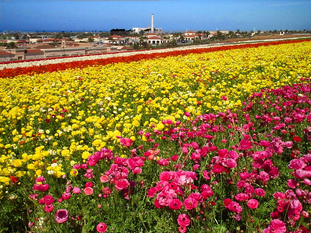 Carlsbad Flower Fields Carlsbad Flower Fields Check out my…