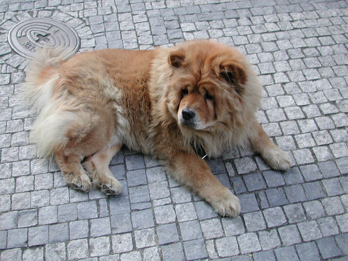 Half Dog Half Lion 16546429_851577c084.jpg