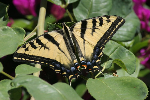 Swallowtail in the bouganvillea | by Tom Clifton