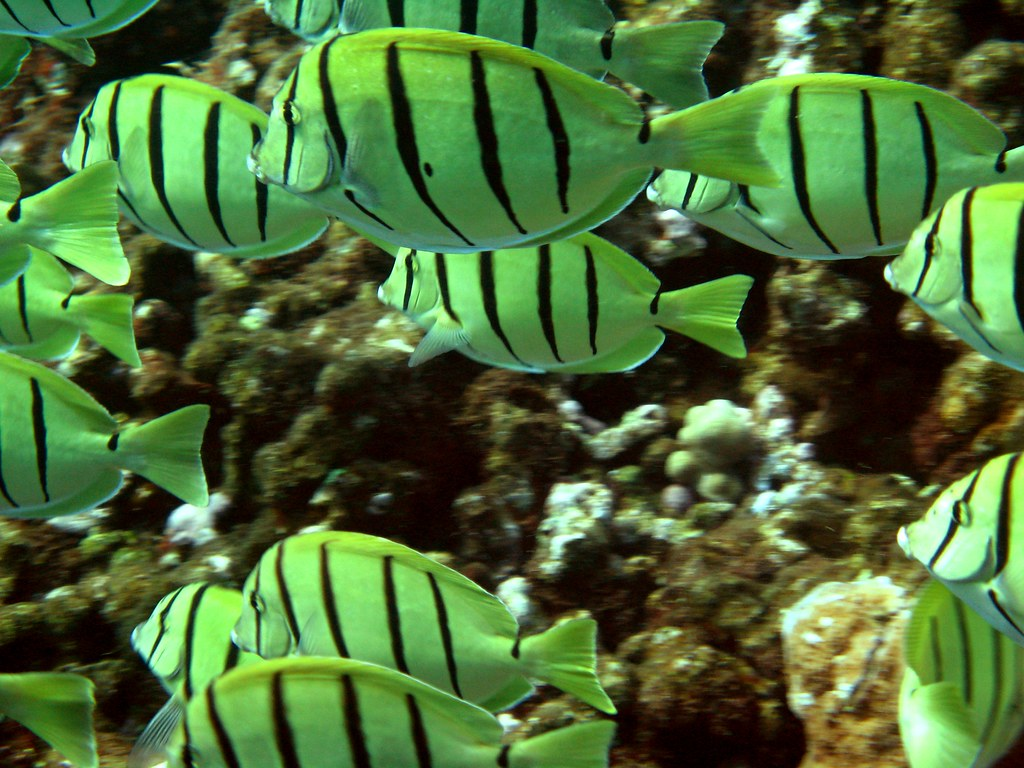 Convict Tang Hawaii of Manini or Convict Tang