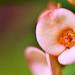 Pink crown of thorns