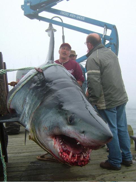 Massive Mako Shark Caught Off Yarmouth Nova Scotia Flickr