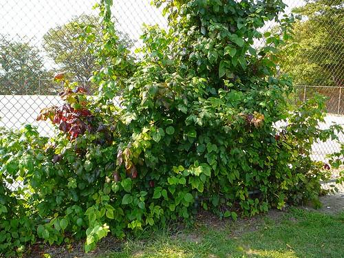 Poison Ivy Bush Pictures