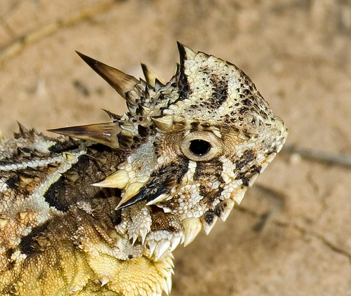 Texas Horny Toad | by The Horned Jack Lizard