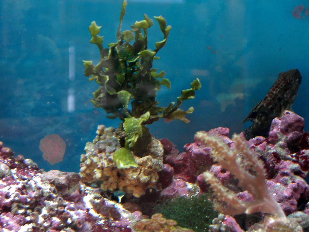 Halimeda Plant Halimeda Plant | Flickr