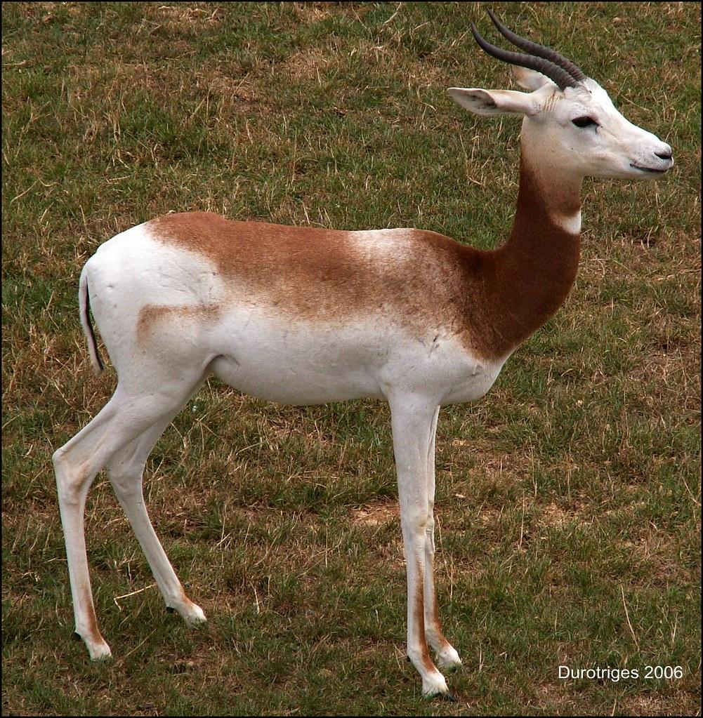 Dama Gazelle  The Dama Gazelle Of North Africa Are -3880