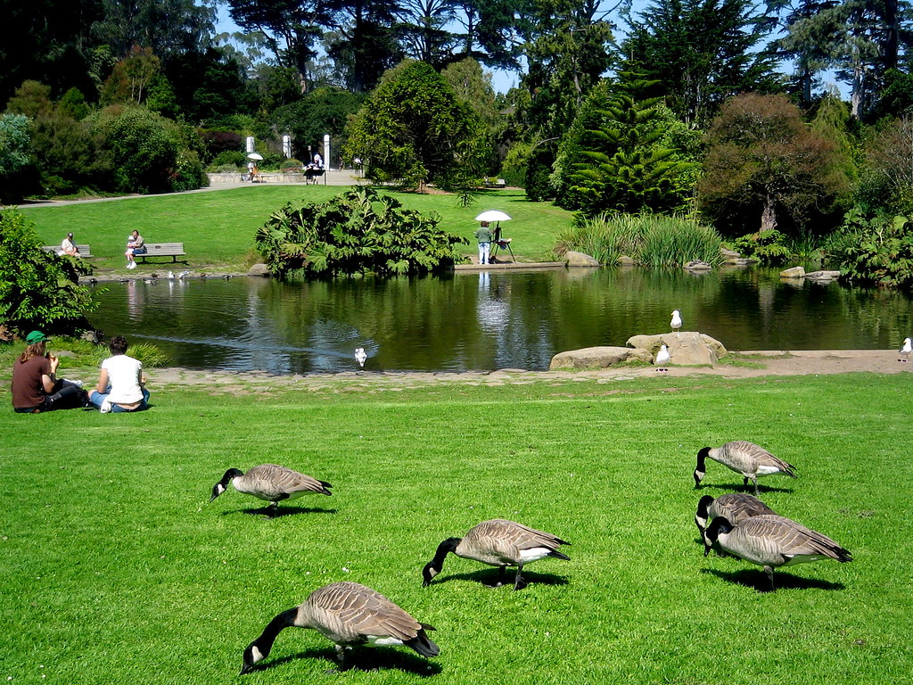 San Francisco Botanical Garden On A Sunday Canadian Geese Flickr