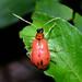 Chrysomelid beetle Nr 9