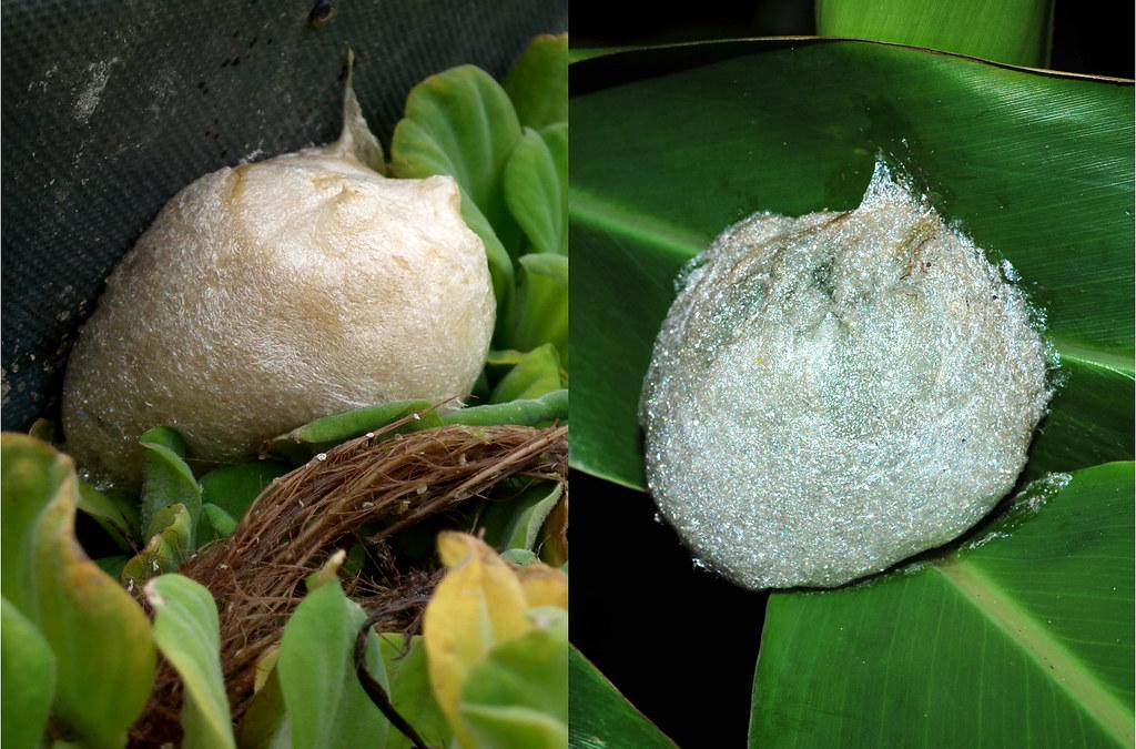 斑腿樹蛙的卵泡有兩種顏色,可黏附在植物體上,很容易伴隨著園藝植物而移動。圖片來源:楊懿如