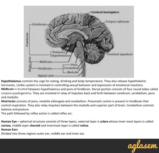 Important Notes of Biology for NEET: Neural Control and Coordination