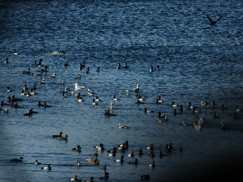 march 9 2018 13:54 - Sea Birds during Herring Spawn | by boonibarb