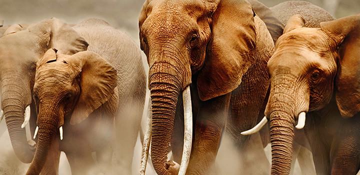 非洲象(Loxodonta africana) 圖片來源:WWF