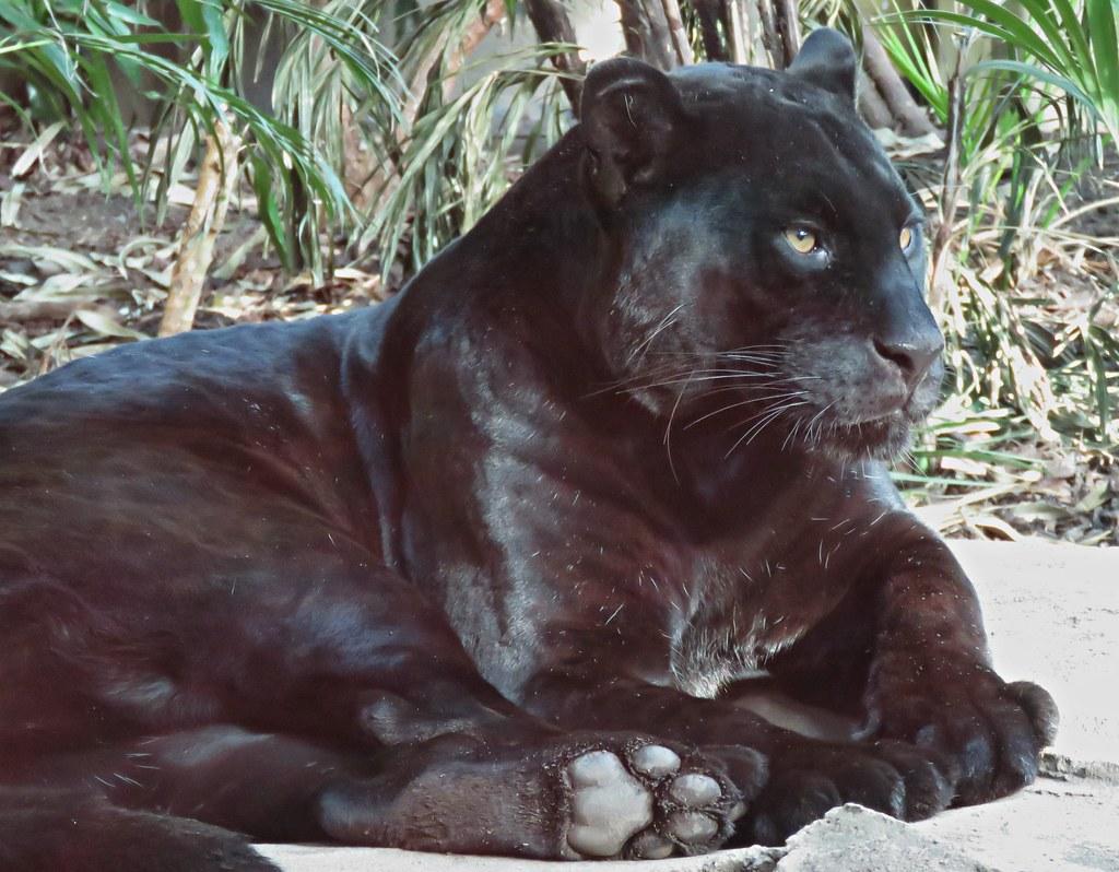 Black Panther The Beautiful Big Cat Of Chester Zoo Kim Reubins