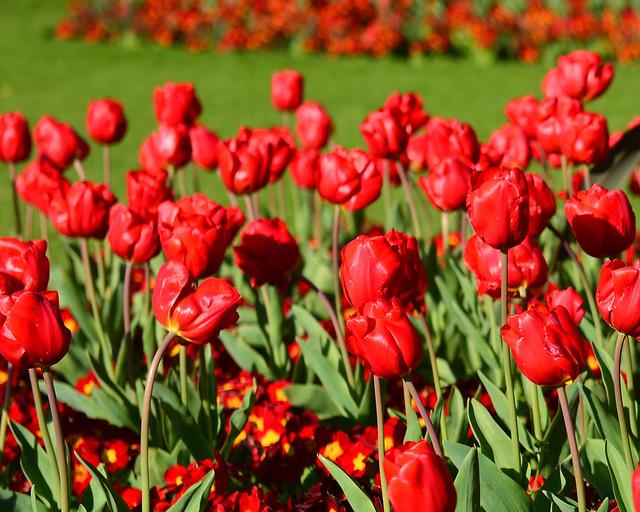 Campo de flores rojas del parque St. Stephen Green, uno de los sitios más bonitos que ver en Dublín