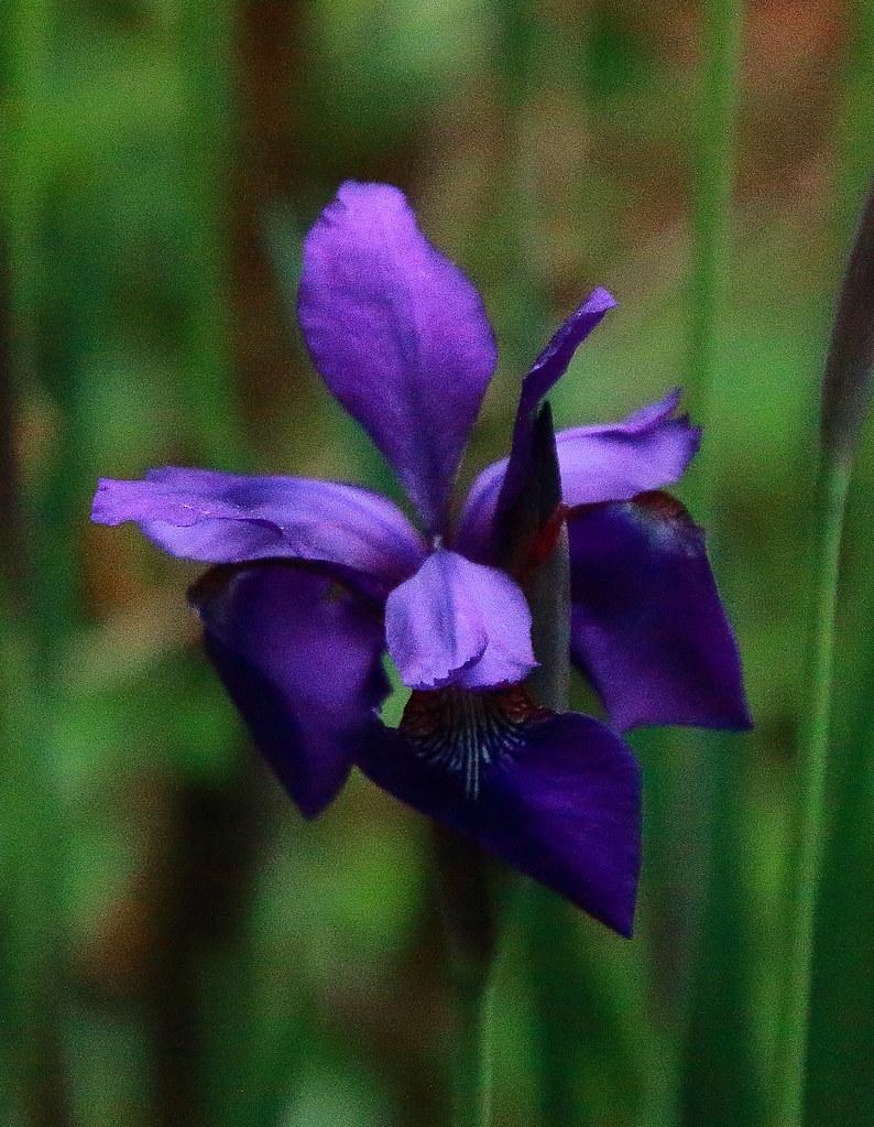 African Iris Marilyns Flower Garden Dan Davis Flickr