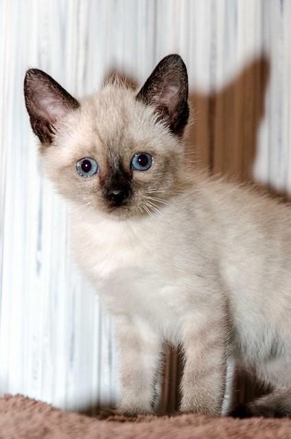 Boston, gatito Siamés Tabby reguapo y juguetón esterilizado, nacido en Marzo´18, en adopción. Valencia. ADOPTADO. 41071656595_731e4b9d48_z