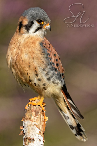 Kestrel 7244-18 | by StacyN - MichiganMoments