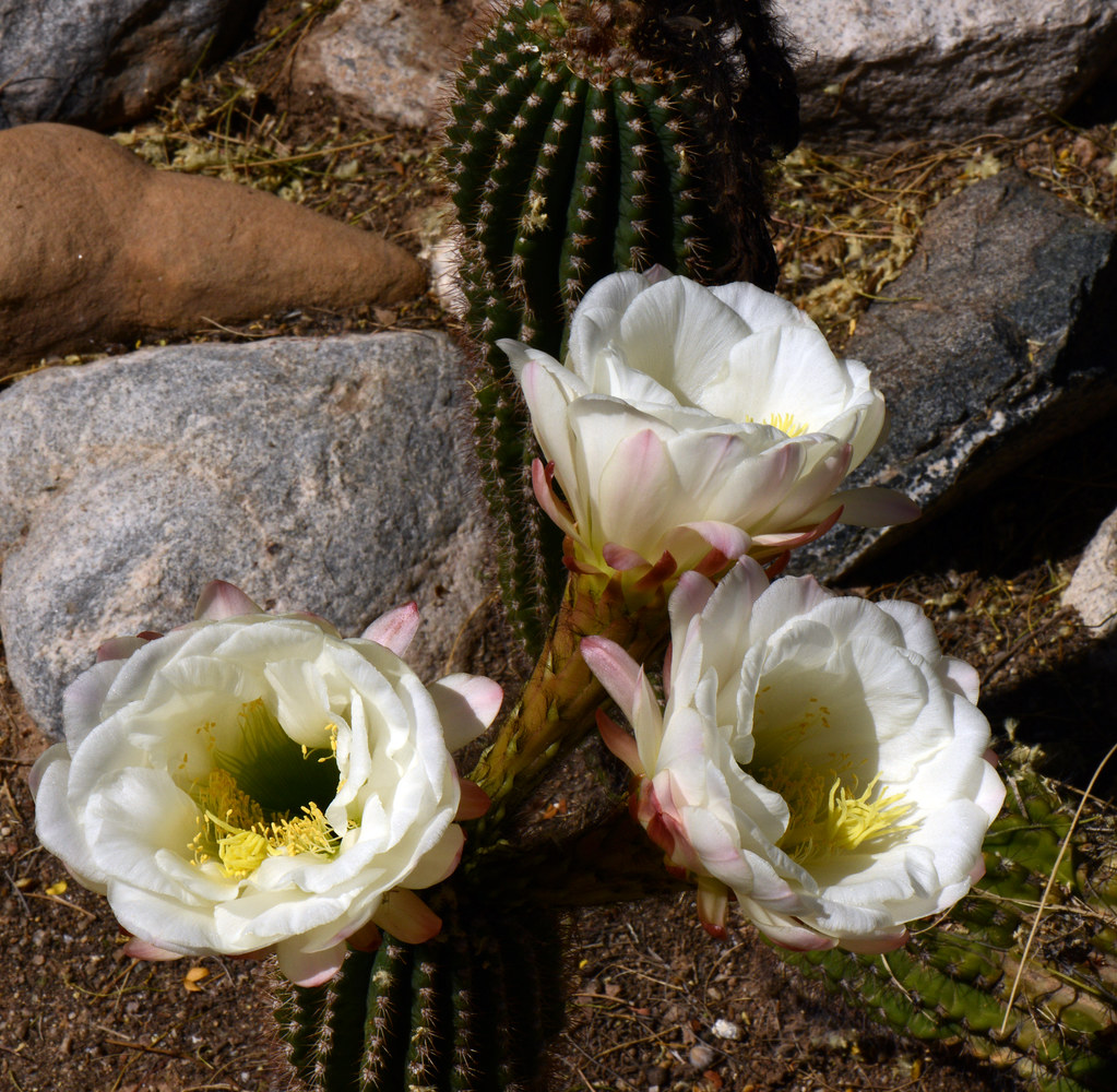 White Cactus Flower Trichocereus Spachianusgolden Torch Flickr