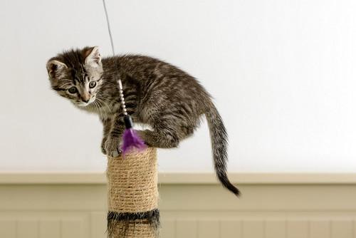 Bonnie, gatita parda monísima y muy lista esterilizada, nacida en Marzo´18, en adopción. Valencia. 42162645572_b1bcd5ccf8