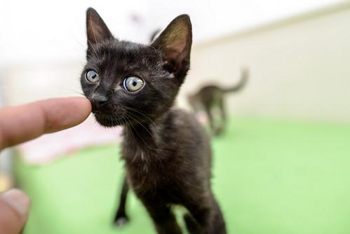 Bombón, gatita negra monísima y dulce esterilizada, nacida en Marzo´18 en adopción. Valencia. RESERVADA. 27337568007_c627ce495e