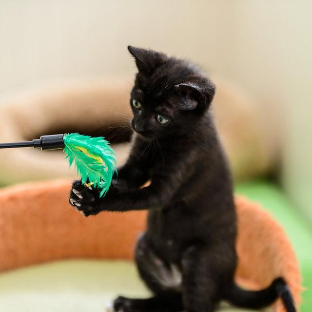Bombón, gatita negra monísima y dulce esterilizada, nacida en Marzo´18 en adopción. Valencia. RESERVADA. 28335839928_82d7e84cd6_z