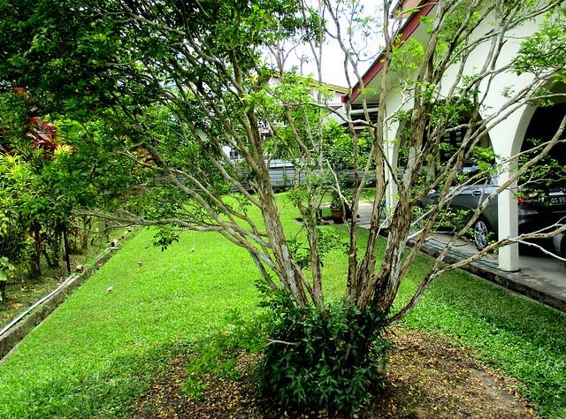 My jasmine tree