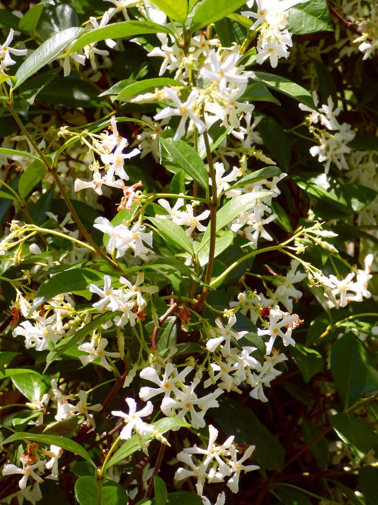 Star Jasmine Star Jasmine Trachelospermum Jasminoides My F Flickr