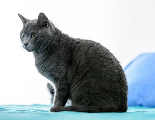 Cartujo, gato azul de ojos cobre tímido y juguetón esterilizado, nacido en Febrero´14, en adopción. Valencia. ADOPTADO. 40401429150_e87e4119dd