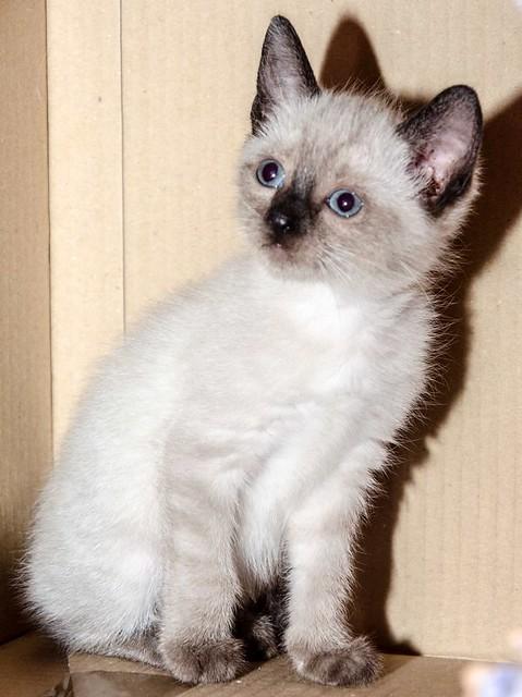 Boston, gatito Siamés Tabby reguapo y juguetón esterilizado, nacido en Marzo´18, en adopción. Valencia. ADOPTADO. 41252496214_bf767ce518_z