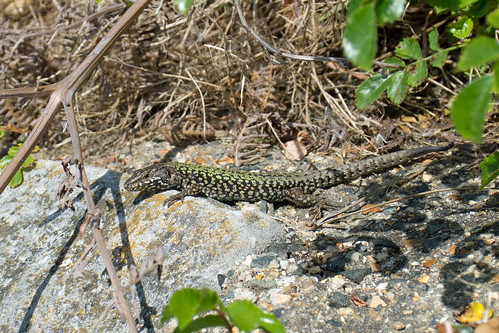 Wall Lizard (Podarcis muralis) | by Sky and Yak