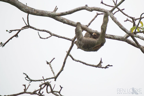 Brown-throated Three-toed Sloth | by Ben Locke.