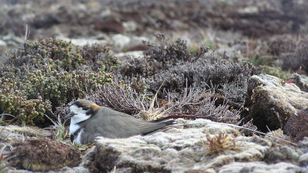 A nesting two-banded plover
