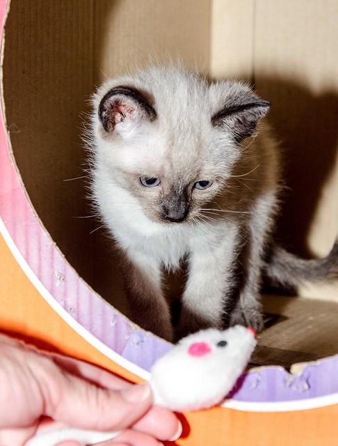 Boston, gatito Siamés Tabby reguapo y juguetón esterilizado, nacido en Marzo´18, en adopción. Valencia. ADOPTADO. 41926645342_f50cf4489c_z