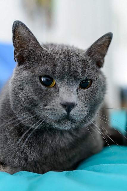 Cartujo, gato azul de ojos cobre tímido y juguetón esterilizado, nacido en Febrero´14, en adopción. Valencia. ADOPTADO. 27337535707_35571ef763_z