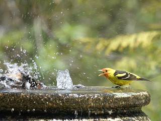 Black-headed Grosbeak and Western Tanager | by Mike's Birds