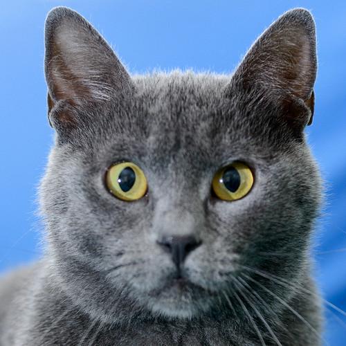 Cartujo, gato azul de ojos cobre tímido y juguetón esterilizado, nacido en Febrero´14, en adopción. Valencia. ADOPTADO. 40401420940_1095e87212