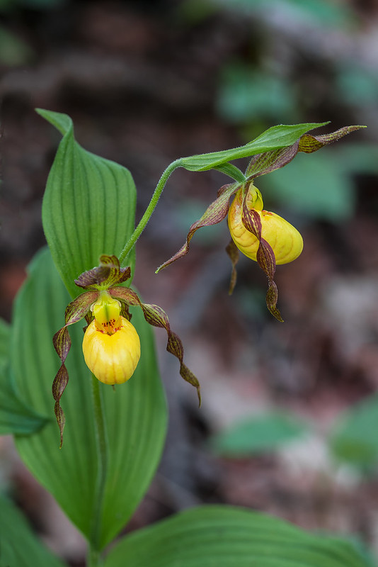 Small Yellow Lady's-slipper orchid