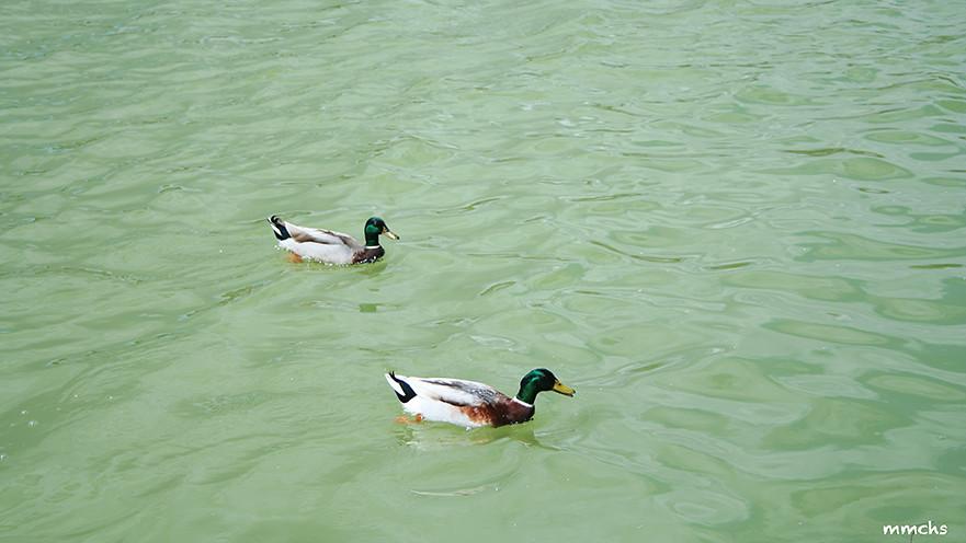 patos en el parque de cabecera