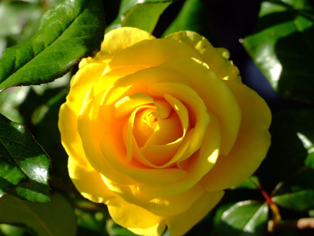 Holland And Holland >> Yellow rose Holland Park   Yellow rose Holland Park   Flickr